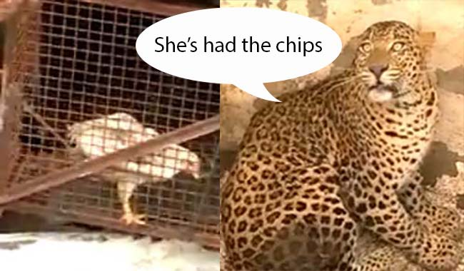 leopard chicken rescue