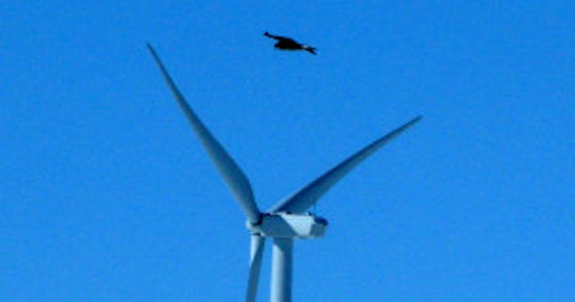 In this April 18, 2013, photo, a golden eagle is seen flying over a wind turbine on Duke energy's top of the world windfarm in Converse County Wyo. The company has reported 10 golden eagle deaths since it started operation in 2009. It's the not-so-green secret of the nation's wind-energy boom: Spinning turbines are killing thousands of federally protected birds, including eagles, each year. (AP Photo/Dina Cappiello)