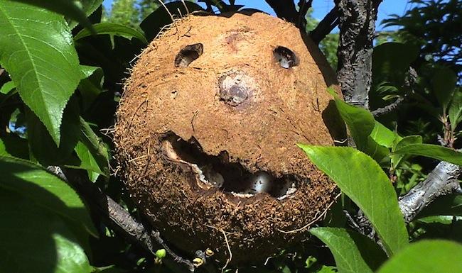 coconut curse