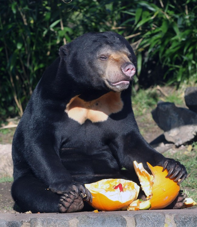 Anorak News 23 Animals Eating Halloween Pumpkins