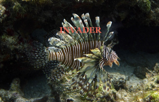 PA 87814242 Eradicating invasive species over dinner: Lionfish on a bed of leopard cat and snapping turtle gizards