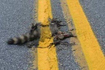 dead racoon