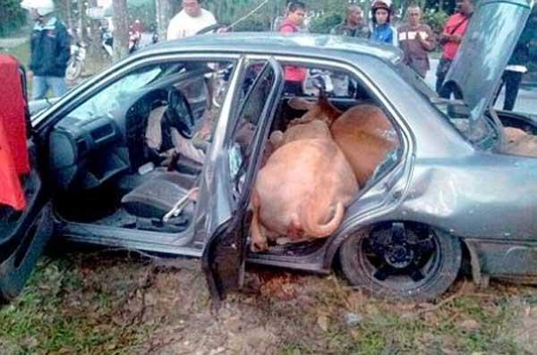 car cows 1