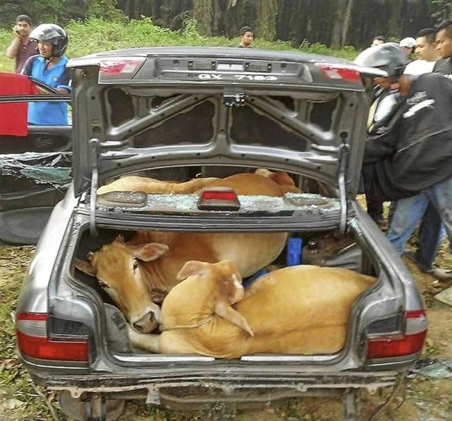 car cows 3
