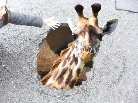 Giraffe hole Bexley Baby Giraffe Could Have Fallen Into Bexley Sinkhole