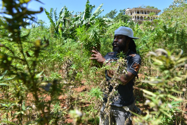 In this Aug. 29, 2013 file photo, farmer nicknamed Breezy shows his illegal patch of budding marijuana plants during a tour of his land in Jamaica's central mountain town of Nine Mile. Breezy says Americans, Germans and increasingly Russian tourists have toured his small farm and sampled his crop. In Latin America and the Caribbean, where countries including Mexico and Chile have decriminalized possession of small amounts of drugs, there is significant public opposition to further legalization. But top officials are no longer as fearful of offending the U.S., which has provided billions of dollars to support counter-narcotics work in the hemisphere. (AP Photo/David McFadden, File)