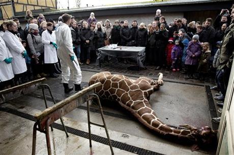 marius giraffe 1