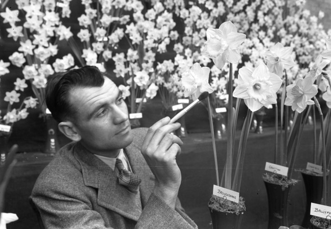 Royal Horticultural show 1953 Daffodil petals are smoothed out at the show