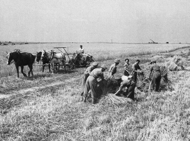 Harvesting has been in full swing in Normandy, and in spite of the war a good harvest was anticipated. Reapers everywhere, cutting the wheat in the midst of all kinds of machines of war, have carried on. British soldiers, off duty, have in many instances helped with the harvesting. The Germans had put barbed wire in abundance through the crops. The wire had to be carefully cleared away before the reapers could begin. General view of reapers at work with British soldiers helping French farmers in France on August 16, 1944. (AP Photo)