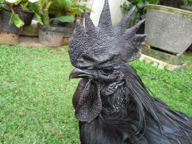black chicken 1
