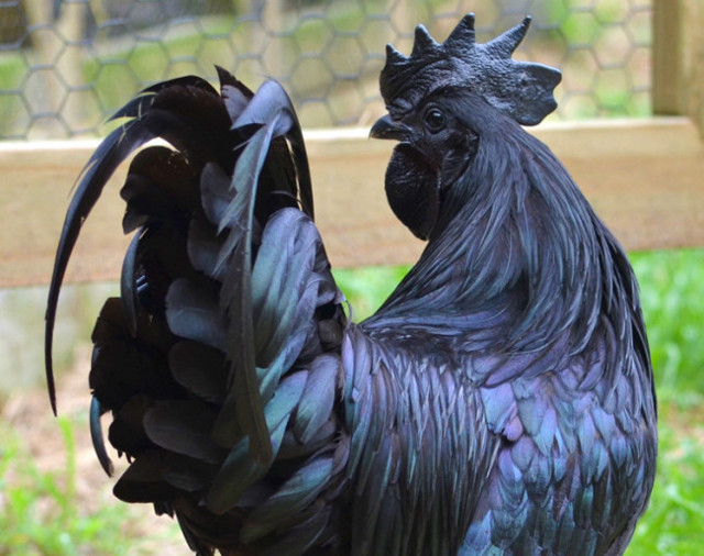 black chicken 3