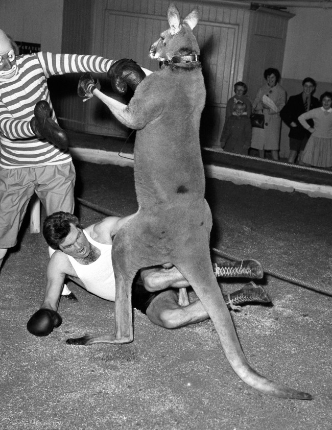 Freddie Mills, Britain's former light heavyweight champion spars with George, the Kangaroo at Ascot in Berkshire in preparation for the opening of the Bertram Mills Circus Christmas season at Olympia, London. Ref #: PA.1158211  Date: 25/11/1962