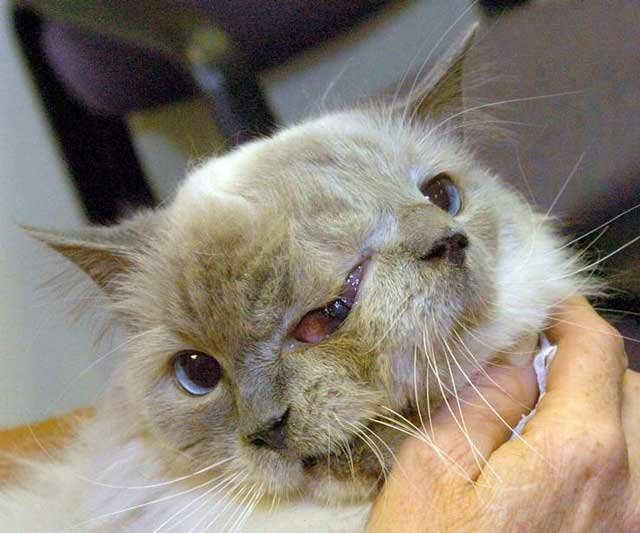 two faced cat 1