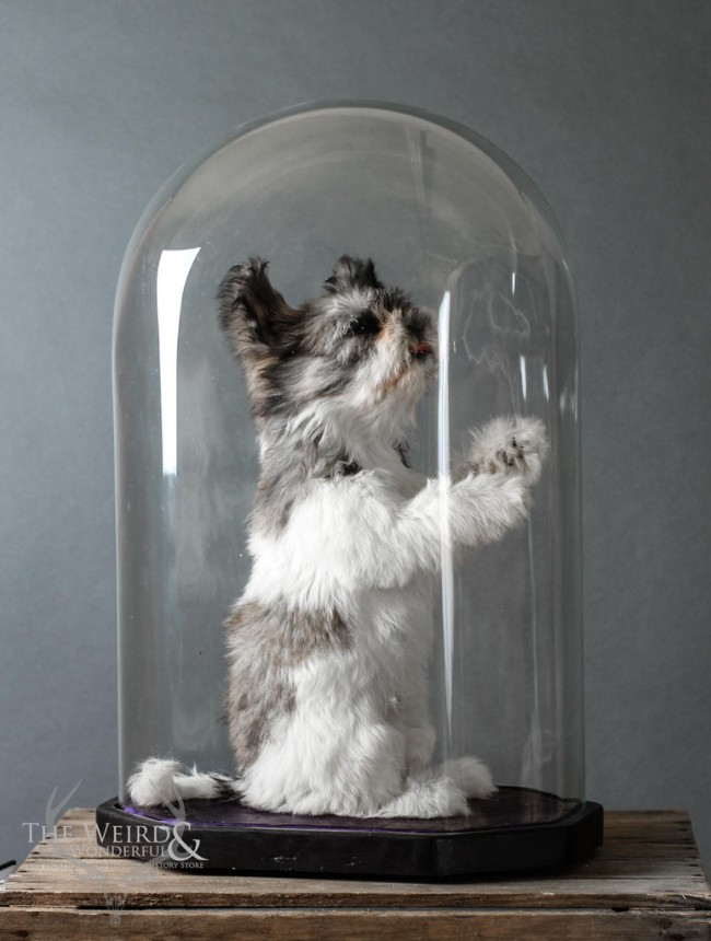 Modern Taxidermy Shih Tzu under Octagonal Dome