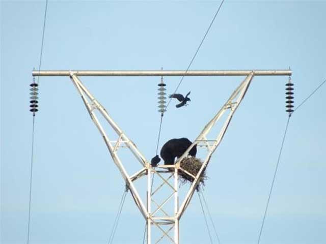 bear raven