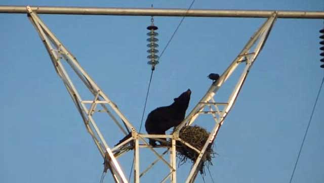 ber ravens