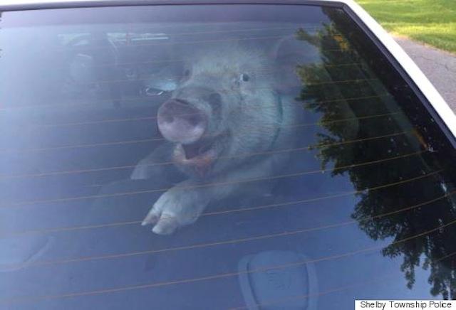 pig police car