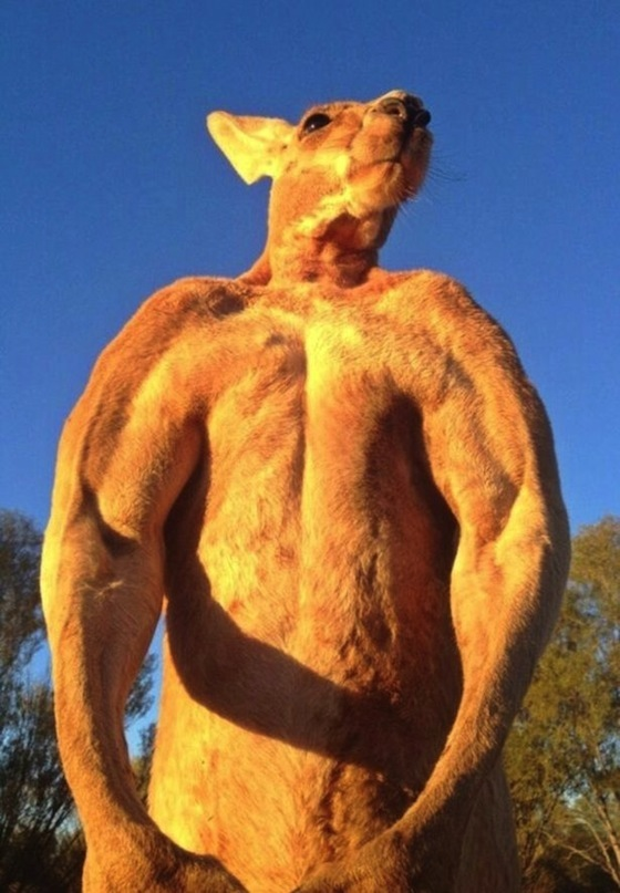 roger the kangaroo