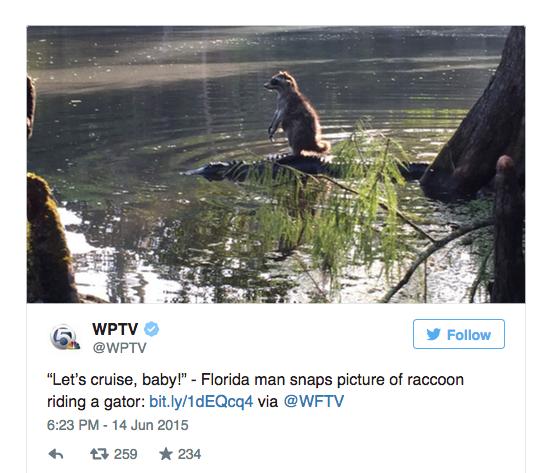racoon aligator