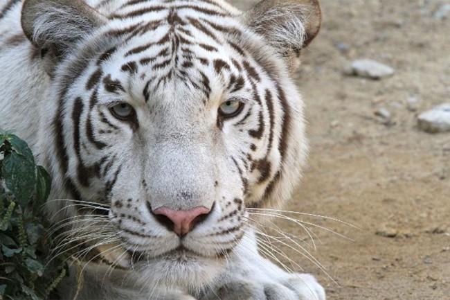 white tiger tblisi