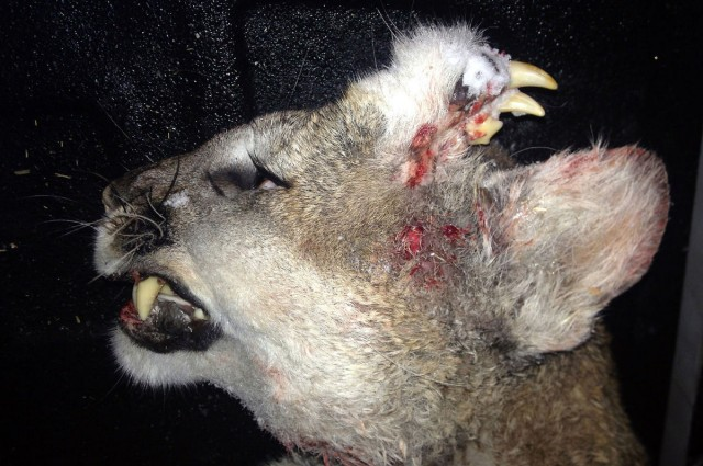 Cougar with teeth growing form its head discovered in Idaho (Photo)