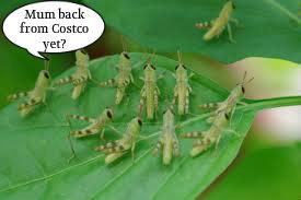costco locust