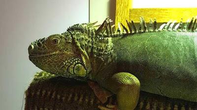 iguana on plane