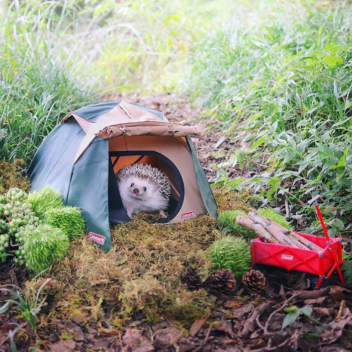 hedgehog-azukicamping