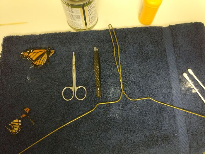 """The operating room and supplies: towel, wire hanger, contact cement, toothpick, cotton swab, scissors, tweezers, talc powder, extra butterfly wing"""
