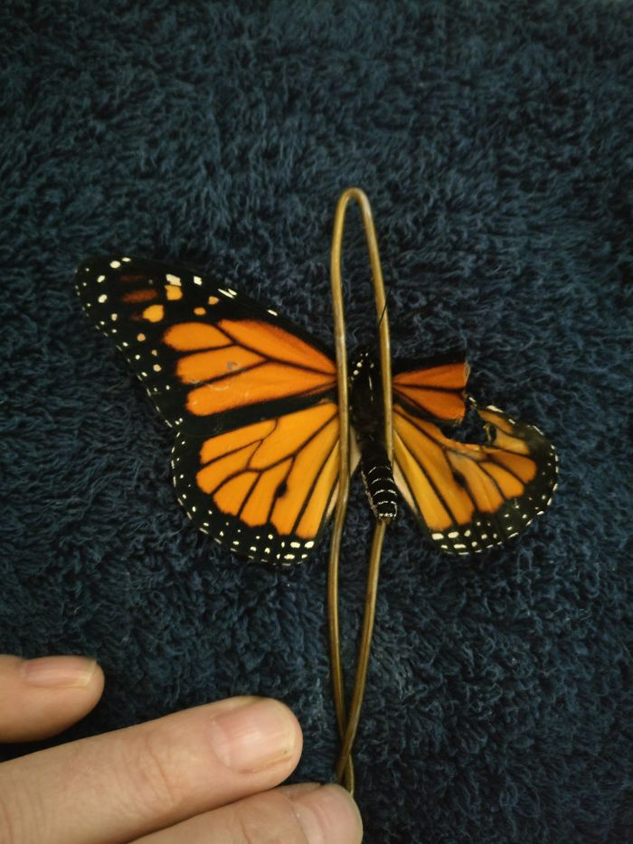 """Securing the butterfly and cutting the damaged parts away. Don't worry it doesn't hurt them. It's like cutting hair or trimming fingernails"""