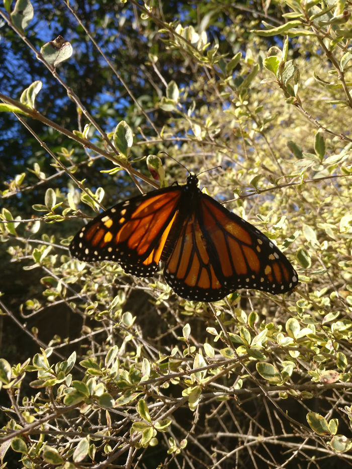 monarch-butterfly-new wing