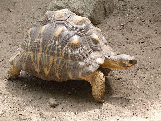 radiated turtle