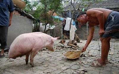 A pig which can walk on two legs Zhu The Two Legged Pig Does Handstands