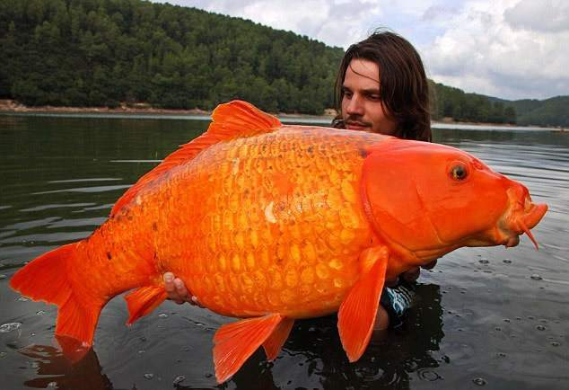 Anorak the goldfish that weighs as much as edward nino for Big gold fish