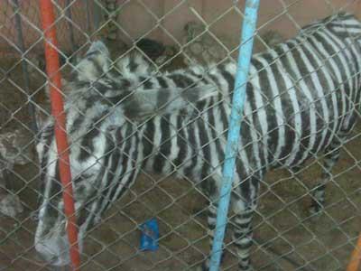 donkey-zebra2