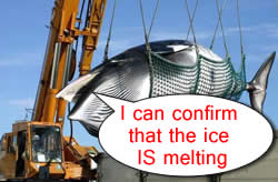 global warming whaling Japan Kills Whales For Global Warming Research Purposes