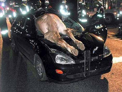 horse-stuck-in-car.jpg