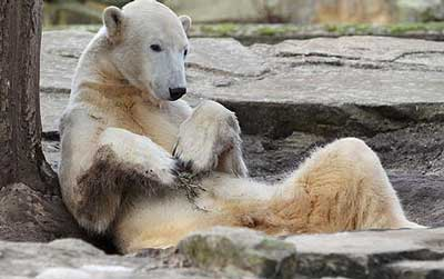 knut1 Knut The Polar Bear Dead At 4: Copyeditors Take Care