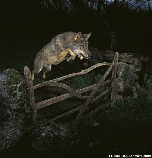 leaping-wolf