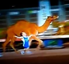 Midget camel races