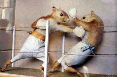 squirrel_boxing1