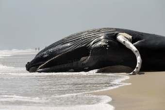 Sperm whales gulf oil spill