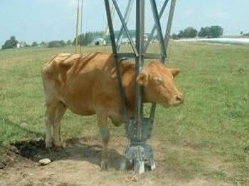 1135-cow-gets-stuck1