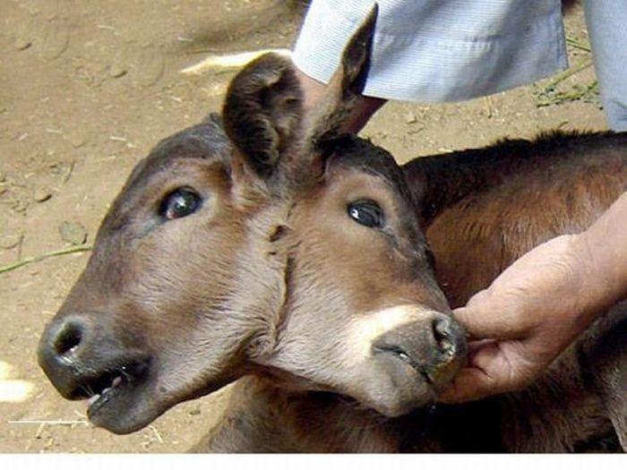 two-headed-calf