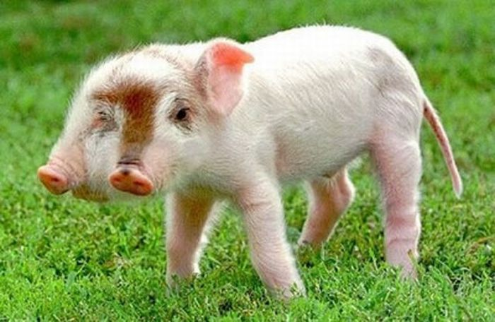 two-headed-pigs