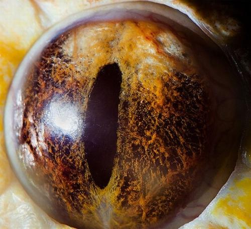 albino-tiger-reticulated-python-eye