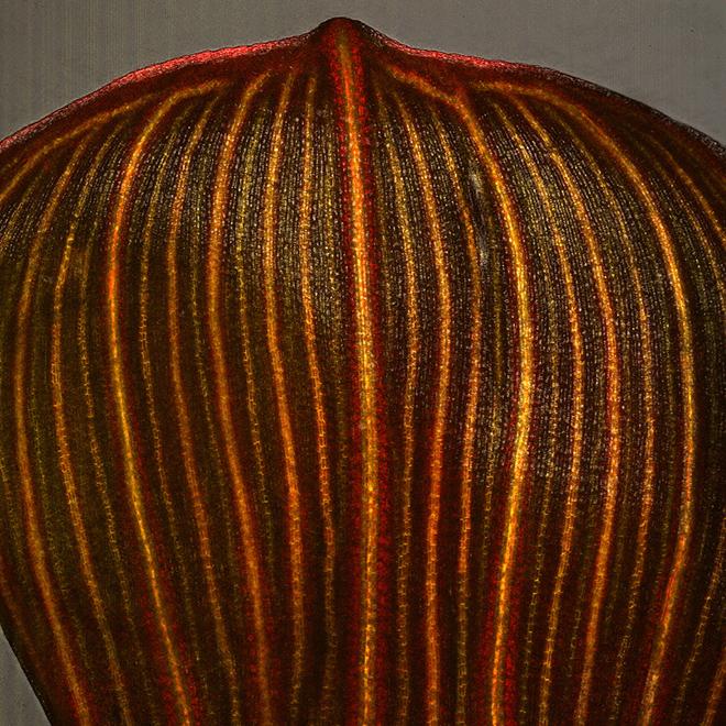 vascular-trace-development-in-a-corn-leaf
