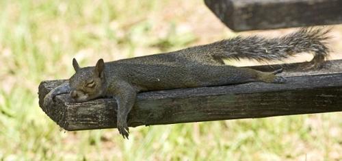 planking-squirrel