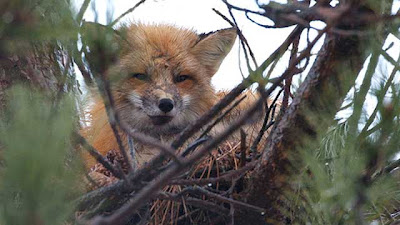 fox-crows-nest