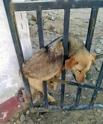 gate-dog